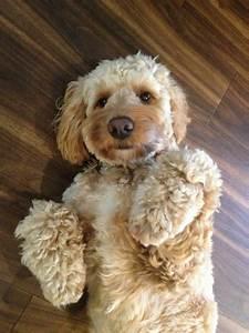 Best 20 Cocker Spaniel Poodle Mix Ideas On Pinterest