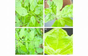 A  Symptoms Of Tobacco Mosaic Virus  Tmv  Infection On
