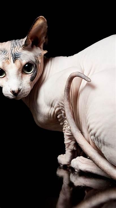 Cat Tablet Sphynx Animals Desktop Cats