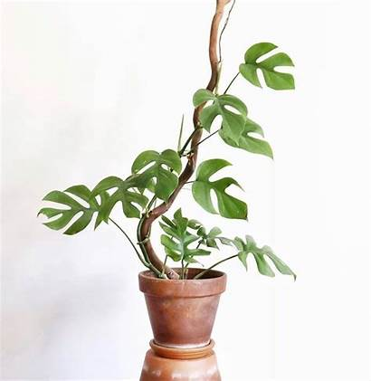 Plants Monstera Indoor Plant Care Malaysia Tall