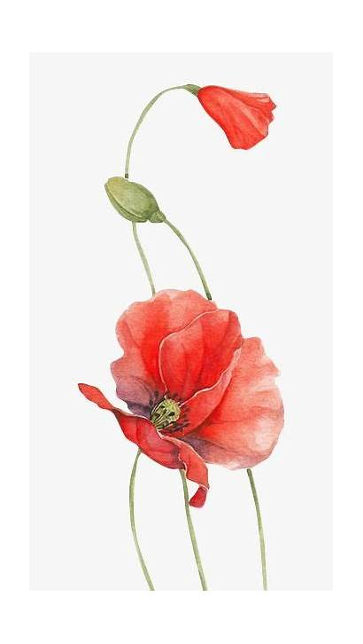 Watercolor Poppies Poppy Flower Painting Paintings Chinese