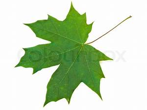 Single green maple leaf against the white background ...