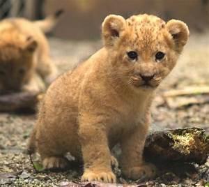 Lion Cubs Play At Zoo Santa Fe - ZooBorns