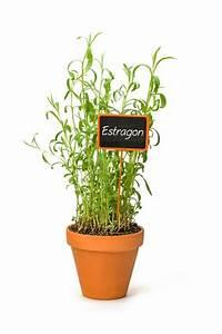 Grünpflanzen Im Topf : estragon kr uterpflanze im topf online kaufen ~ Michelbontemps.com Haus und Dekorationen