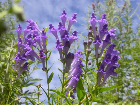 Skullcap The Calming Herb With Additional Benefits