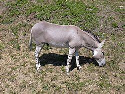 equus africanus wikipedia la enciclopedia libre