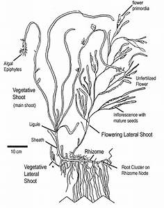 Diagram Of Seaweed