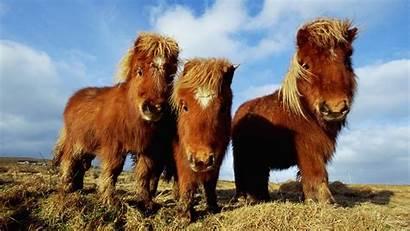 Pony Ponies Horses Brown Horse Three Animals