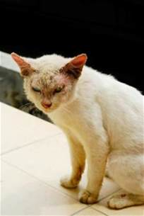 mange on cats what does mange look like on a cat apps directories