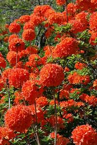 Englischer Garten Pflanzen : mandarin lights azalea has deep orange flowers that are ~ Articles-book.com Haus und Dekorationen