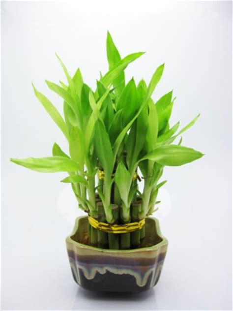 japanese bamboo plant care bonsai tree pictures 9greenbox live 2 layer cake lucky bamboo plant arrangement w japanese