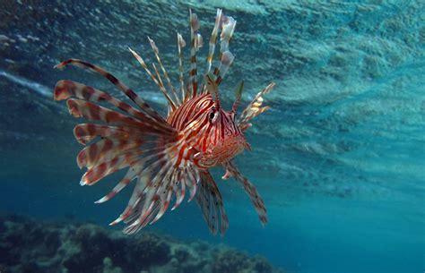 lionfish jamaica shutterstock