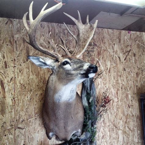 1000 images about whitetail deer on whitetail 1000 images about whitetail mounts on deer