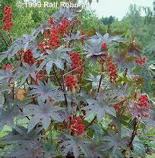 forensic medicine - toxicology - plant toxin -- picture ...