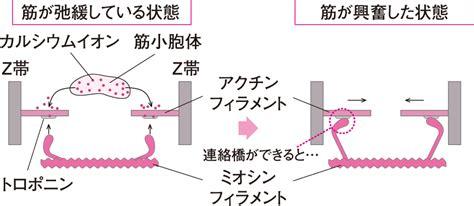 筋 収縮 の メカニズム