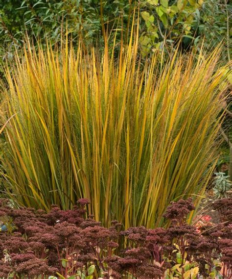 ornamental grass plants northwind switch grass panicum virgatum northwind plant palette pinterest catalog the o