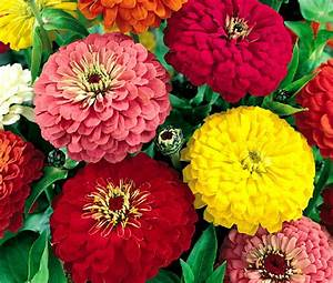 Zinnia Dahlia Flowered Mix Seeds - Zinnia Elegans