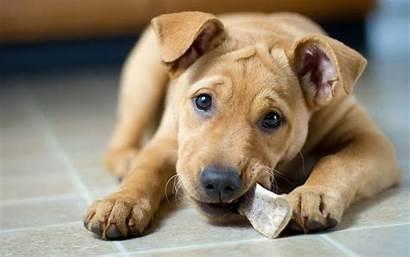 Dog Bone Puppy Dogs Chewing Labrabull Want
