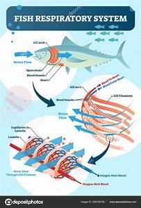 Fish Respiratory System Vector Illustration  Labeled