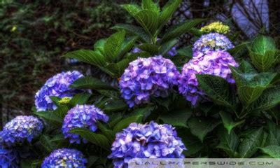 purple hydrangea hdr  hd desktop wallpaper   ultra