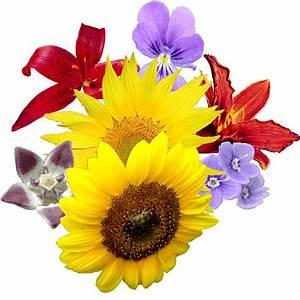 Sunflower PNG images transparent background