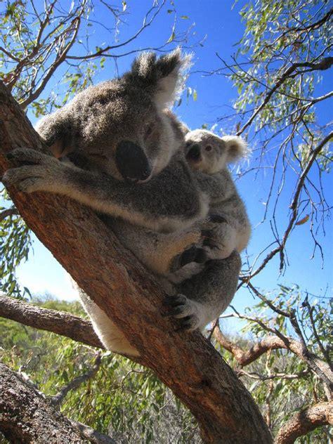 magnetic island trauminsel mit koala baeren und weissen