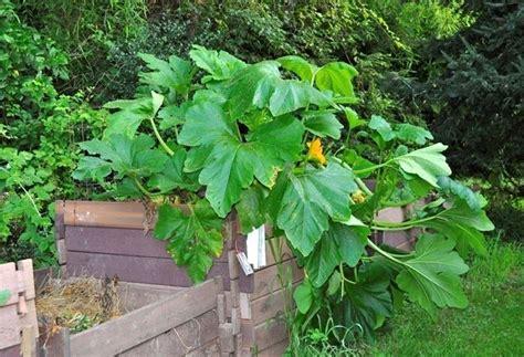 Coltivare Zucchine In Vaso by Zucchine Sul Balcone Orto In Balcone Coltivare
