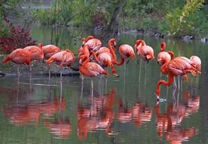 Caribbean Flamingo :: Saint Louis Zoo