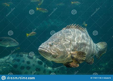 grouper giant fish atlantic ocean saltwater eastern western found well landscape