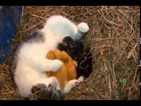 cat nurses ducklings youtube
