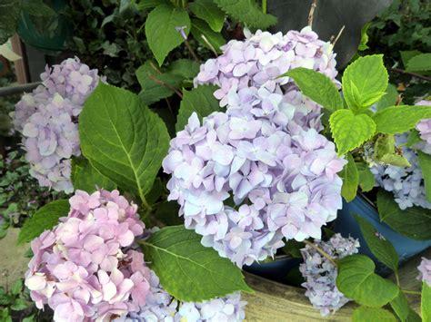 flowering shrubs for shade garden plants that are shade tolerant 171 margarite gardens