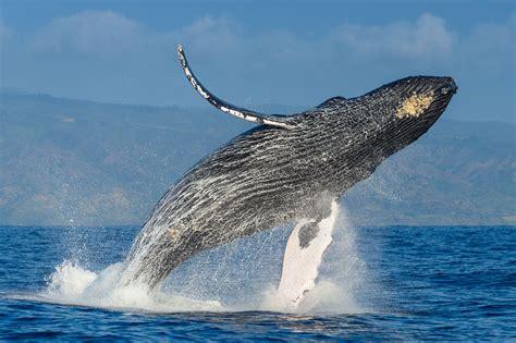 whale season   gold coast mi gold coast tourism