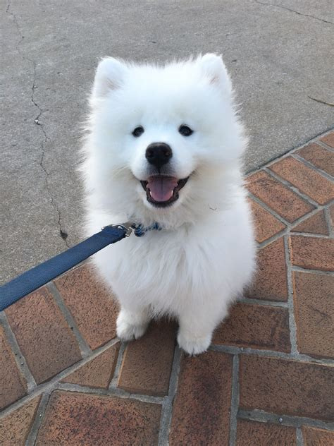 Pinterest Mygoldendream Samoyed Dogs Fluffy Dogs