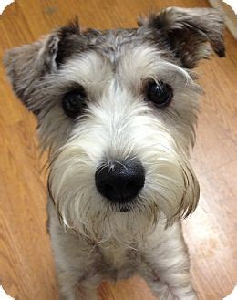 Franklin Pending Adopted Dog Westport Ct Schnauzer Miniature Schnauzer Standard Mix