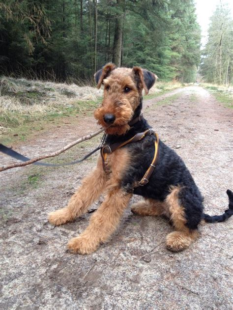 do airedale terriers shed 17 best images about airedales on airedale