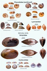 An Illustrated Guide To The Freshwater Mollusca Of Sri