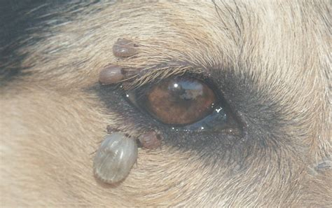 ticks on dogs 7 ways to get rid of fleas and ticks on your minnesota property in 2017 minneapolis pest and