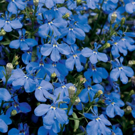 blue lobelia lucia 174 dark blue lobelia erinus proven winners
