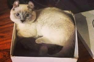 the munchkin cat yoda the munchkin cat is your new bff