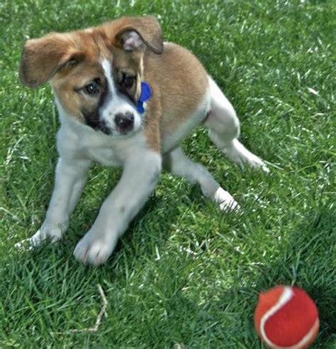 pix  friendly saint bernards daily puppy