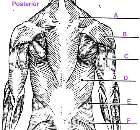 It is like that for several reasons, all of which you can understand by looking at the anatomy of the. Muscle Labeling - Anatomy with E at West Springfield High ...