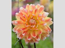 Dahlia 'Peaches and Cream'