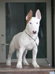 bull terrier. CLICK THE IMAGE or Check Out my blog for ...