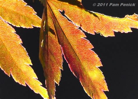 japanese maple leaf spots japanese maple leaf spots