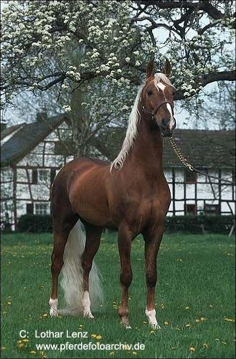american saddlebred race american saddlebred saddlebreds and such american