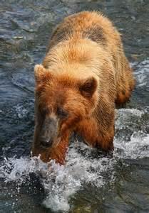 Walking Brown Bear Animal