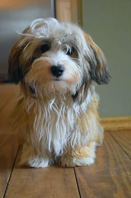 havanese dog puppy small  photo  pixabay