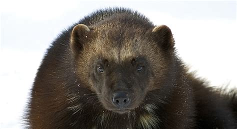 basic facts  wolverines defenders  wildlife