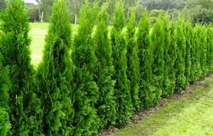Thuja Smaragd Pflanzabstand : thuja occidentalis 39 smaragd 39 bast de plantgigant ~ Michelbontemps.com Haus und Dekorationen