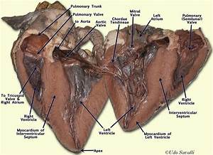 Anatomy And Physiology   The Heart Dissection